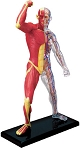 4D Human Anatomy Muscle & Skeleton Model