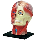 4D Human Anatomy Head Model