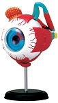 4D Anatomy Eyeball Model