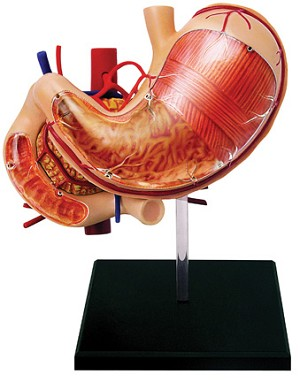 4D Human Anatomy Stomach and Other Organs