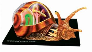 4D Vison Snail Anatomy Model