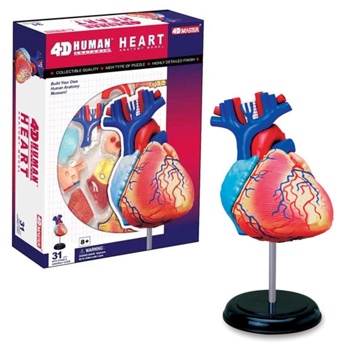 4D Anatomy Heart Model