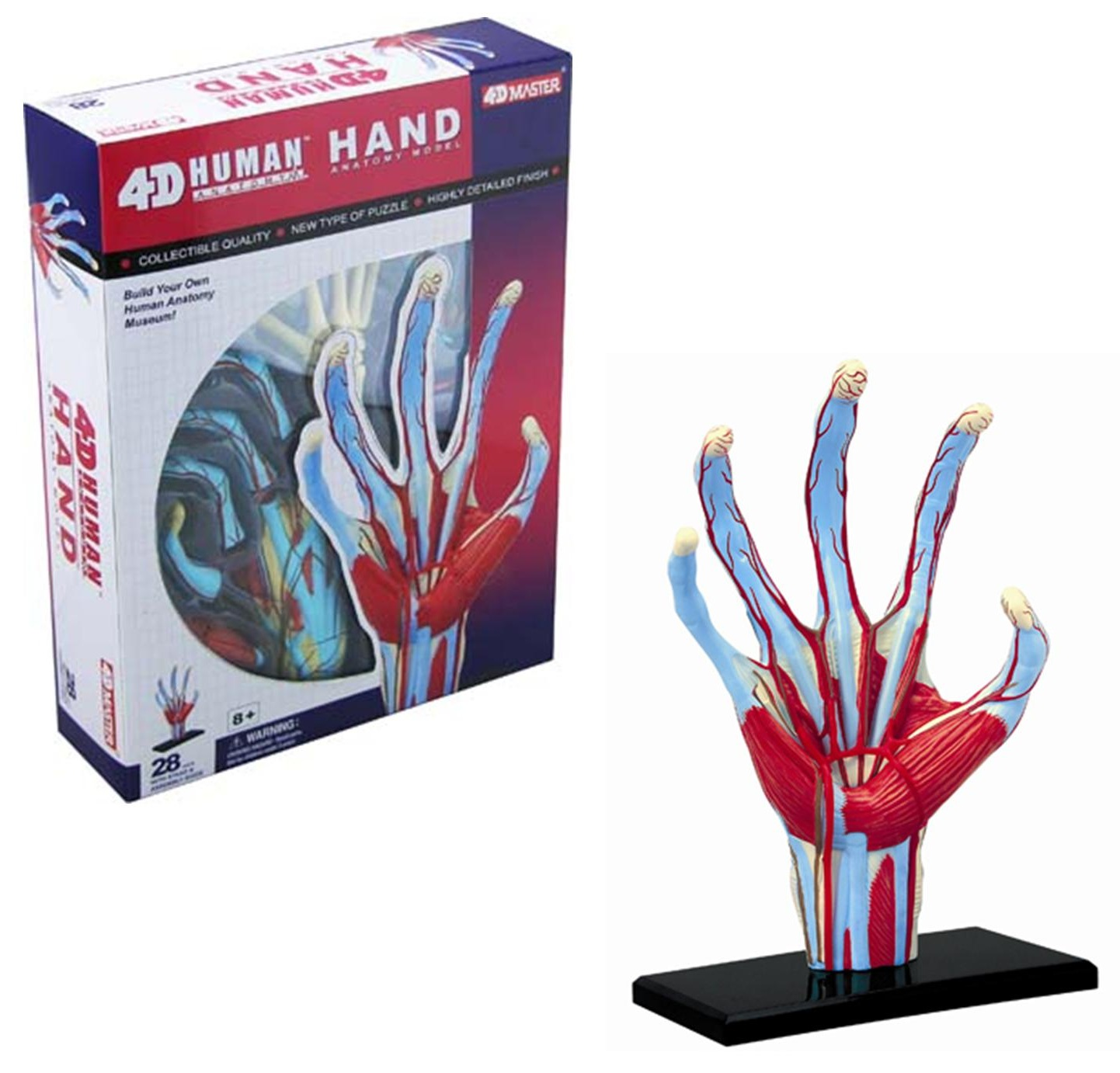 4d Human Anatomy Hand Model