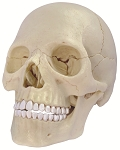 4D Human Anatomy Exploded Skull Model